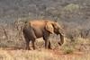 RIP!!!!!!! (The Spirit of the World) Tags: elephant huge big mammal aficanelephant africa southafrica landscape woodlands grasslands madikwe gamereserve gamedrive branches feeding food twig
