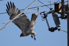 Red-tailed hawk, Buteo jamaicensis (HockeyholicAZ) Tags: hawk buteo redtailed buteojamaicensis urban hunting power pole line electric transformer arizona scottsdale desert usa america