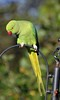 Ring Necked Parakeet (120) (John Carson Essex UK) Tags: thegalaxy thegalaxystars rainbowofnature supersix borntofly