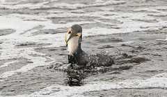 The Beginning Of The End (Steve C Waddingham) Tags: bird british wild wildlife winter water fish fight river countryside coast sea nature northumberland