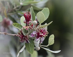 A promise of things to come (ChrisKirbyCapturePhotography) Tags: feijoa blossom fruit tree