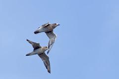 DSC_0805_DxO - pluvier argenté - Pluvialis squatarola - Grey Plover (Berzou) Tags: leteich bird oiseau nature naturebynikon fantasticnature nikond7200 tamron150600