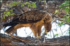 Tawny Eagle (John R Chandler) Tags: animal aquilarapax bird birdofprey eagle hwangenationalpark kill matabelelandnorthprovince tawnyeagle zimbabwe zw