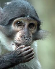 whitecap mangabey blijdorp BB2A7139 (j.a.kok) Tags: animal aap primaat primate zoogdier dier mammal blijdorp mangabey whitecapmangabey africa afrika witkruinmangabey