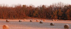 FIRST FROST OF THE YEAR (Rob Patzke) Tags: deer bales sunrise golden lumix lx100 nature frost