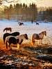Soleil et Neige (Valérie Grcevic) Tags: neige arbre cheveaux soleil lumiere couleurs hiver photo portable isère