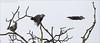 KUSA-6847 (Weinstöckle) Tags: tannenhäher rabenvogel flug vogel