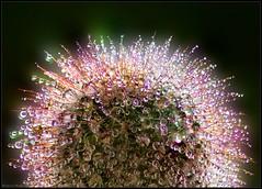 Evidence of Autumn... (michel di Méglio) Tags: water drops marseille cactus eau gouttes