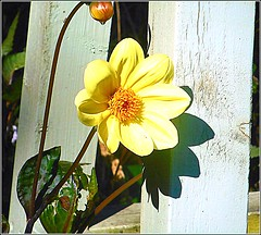 Small Dahlia Flower .. (** Janets Photos **) Tags: uk flowers flora plants nature dahlias