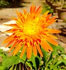 Gerbera daisies. (SHAN 1973) Tags: gerbera africandaisy daisy xiaomi garden 2017 flora flower orange beautiful lovely