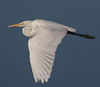 Egret, Great (Ardea alba) (kikapookid) Tags: 2017 animalia arroyolaguna bird california egret great hwy1 location sanluisobispoco usa wadingbird