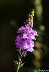 A autumn morning (louisejames1967) Tags: flower stem leaves bud bokeh sun light purple bedfords park
