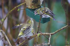 Domestic dispute (Jumpin'Jack) Tags: little passerine birds eurasian common siskin spinusspinus blackheaded goldfinch barley bird aberdevine sitting perching onthe feeder another ona tree branch squabbling bickering fighting among themselves lilac bush bud sprout dof