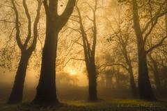 Morning gold (Bertrand Thiéfaine) Tags: d750 arbre automne brume feuilles forêt leverdujour nikon oudon or silhouette soleil soleillevant