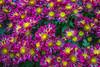 Flowers (m_hamad) Tags: unitedstatesbotanicgarden botanicgarden garden flower flowers nature naturebeauty greatnature explore nationalgeographic dazzlingshot wildlife beauty canon usa 7dmkii dc blinkagain ultimateshot supershot washington washdc wash