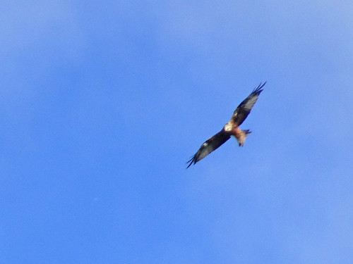 Red kite, 2017 Aug 31 -- photo 2