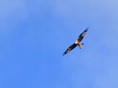 Red kite, 2017 Aug 31 -- photo 2 (Dunnock_D) Tags: uk unitedkingdom britain england shropshire stokesay blue sky redkite kite flying bird soaring raptor