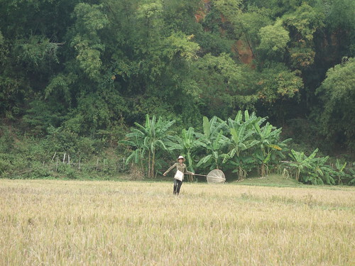 Une dame attrape des sauterelles dans les rizières, afin de les cuisiner plus tard.