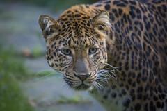 Leopard Julius (DeanB Photography) Tags: zooundtierfotograf zoo zoohannover zootiere tiere tier tierpark tierwelt animal animals zoowelt tierfotograf zoofotograf deanb canon wolf wölfe bär eisbar leopard raubtiere raubtier raubkatze