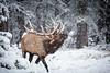 1L0A8619 (kayaker72) Tags: elk banffnationalpark wildlife canada canadianrockies