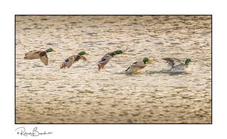Mallard splash-down