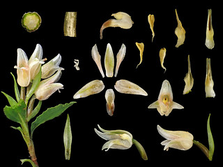 Orchidaceae Goodyera bifida