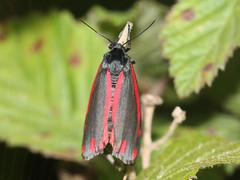 Tyria jacobaeae (Cinnabar moth)