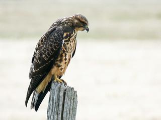 01 Swainson's Hawk juvenile
