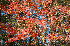 Red Leaves. (dccradio) Tags: lumberton nc northcarolina robesoncounty outdoors outside morning goodmorning fall autumn harvest nikon d40 dslr sky bluesky nature natural tree trees foliage autumnfoliage fallfoliage