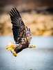 _D856298-Edit.jpg (MukeshPhoto) Tags: bald eagles conowingo dam fishing