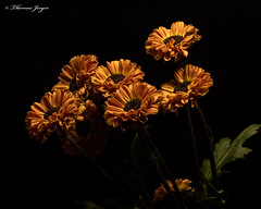 Waiting for an Update 1112 Copyrighted (Tjerger) Tags: nature beautiful beauty black blackbackground bloom blooms booming brown bunch closeup fall flora floral flower flowers gree group macro mum plant portrait tan wisconsin mums waiting waitingforanupdate natural