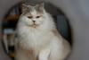 In die Röhre geschaut (Digitalsucher) Tags: pet cat blh britishlonghair british longhair britischlanghaar britisch langhaar rassekatze digital white brown olympus 75mm18 7518 75mm 75 18 panasonic dmcg80 dmcg81 dmcg85 g80 g81 g85 dslm csc tunnel lilac tortie lilactortiewhite harlekin