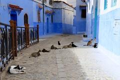 Cat City (Alex L'aventurier,) Tags: chefchaouen maroc morocco bleu blue medina médina street rue chats cats murs walls doors portes fence clôture animal urbain urban old vieux