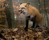 Snarl (Sarah Brigham) Tags: fox foxes foxy furry fluffy animal outdoors forest woodland creature closeup animalportrait nikon nikond5200 photo photography ohio snarling growling growl angry attack