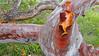 Angophora costata_3 (Tony Markham) Tags: angophoracostata sydneyredgum rustygum smoothbarkedapple blushing orange red pink colour color myrtaceae tree flowering flower inflorescence wisestrack royalnationalpark