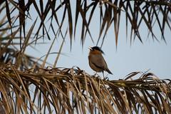 Brahminy Starling (कालासिर मैना, चन्ना हुडी) - Sturnia pagodarum (jhureley1977) Tags: brahminystarling कालासिरमैना चन्नाहुडी sturniapagodarum birds birding birdsofindia ashjhureley avibase naturesvoice bbcspringwatch rspbbirders orientbirdclub sanctuaryasia ashutoshjhureley jabalpur jabalpurbirds
