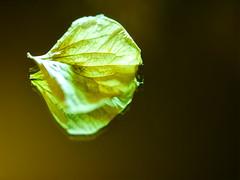 magic in the mirror (BeMo52) Tags: gartenhortensie spiegel mirror flora garten nature natur gardeen border flower hortensis hydrangea plant pflanze blatt leaf macro makro onesingleleaf