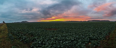 Reddy Sunset [9 pic panorama] (gabormatesz) Tags: canon canon80d panorama sunset landscape clouds cloudscape cloudy redsunset autumn photography