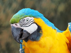Blue-and-yellow macaw (Ilia K.) Tags: animal ara ararauna aviary background beak beautiful bird blue blueandyellow bright colorful colourful cute exotic fauna feather gold isolated macaw nature parakeet parrot pet portrait tropical vibrant white wildlife wing yellow