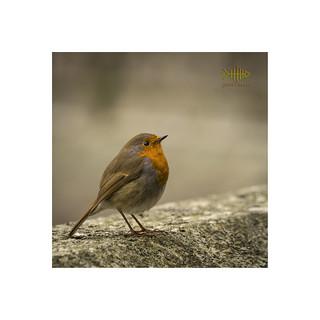 Robin on Granite