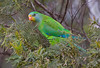 Superb Parrot (christinaportphotography) Tags: superbparrot polytelisswainsonii mulligansflat act australia parrot bird birds wild free