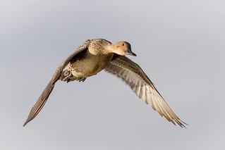 Pintail hen landing