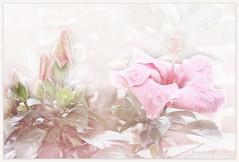 Joy in looking and comprehending is nature's most beautiful gift. (Albert Einstein) (boeckli) Tags: flowers flower flora fleur garden garten hibiscus hibiskus buds knospen tóta þórunnþorsteinsdóttir googlenik cep4 photoborder painterly pastel pastell floralfantasy doublefantasy 7dwf magicunicornverybest