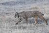 Iberischer Luchs (Lynx pardinus) (lars.begert) Tags: sierradeandujar luchs spain andalucia espana andalusien andalusia lynxpardinus lince iberischerluchs spanien linceiberico