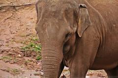 IMG_0797 (jaybluejeans94) Tags: chester zoo elephant elephants wild nature animal animals chesterzoo