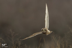 Maintaining Eye Contact (Short-Eared Owl) (The Owl Man) Tags: