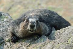 Marmot (rolgal) Tags: marmot murmeltier wildlife jasper urlaub reise kanada canada