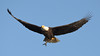 DSC_8248 (willy_chan88) Tags: bald eagles conowingo dam 2017