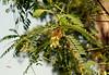 বকফুল (Sesbania grandiflora) (Saniya Ruby) Tags: flower dhaka বকফুল lateautumn dhakaversity garden plant leaf green