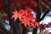 Red Acer Leaves (Bri_J) Tags: botanicalgardens sheffield southyorkshire uk yorkshire park nikon d7200 autumn fall tree red acer leaves